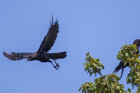 Crow-Kamikaze