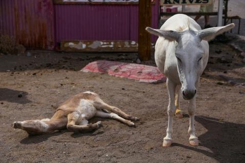 Donkeys-of-Oatman