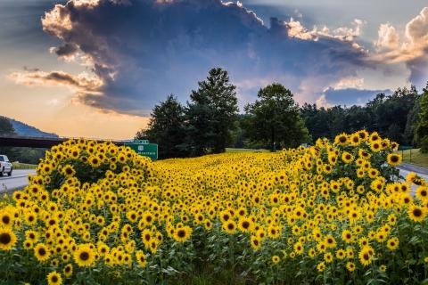 Sun-Flowers